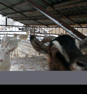 Продам коз, козлов, козлят