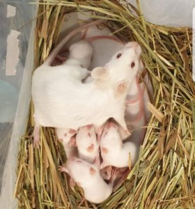 Лабораторные или кормовые мыши