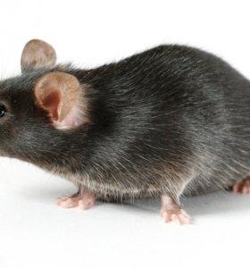 Мыши кормовые