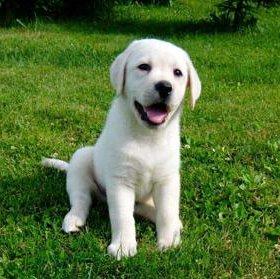 Продам щенков породы лабрадор
