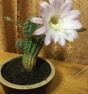Кактус- уникальное растение