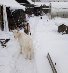 козел австронубийский