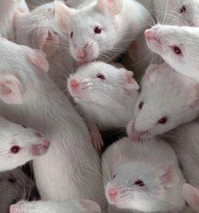 Мыши, крысы кормовые ЗАМОРОЖЕННЫЕ.