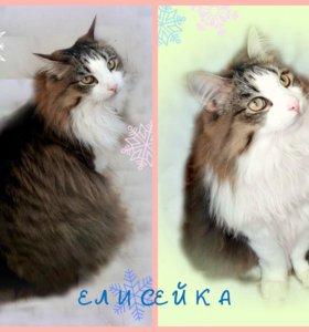 Сибирские кошечки и котики