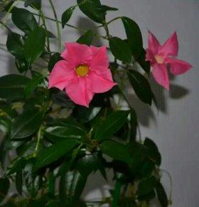 Дипладения розовая