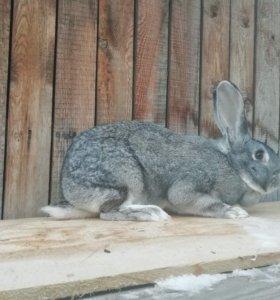 Кролы и Крольчиха