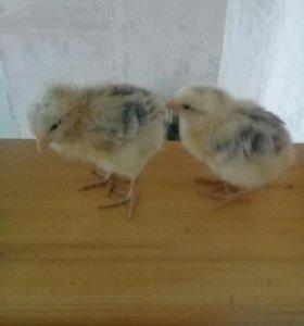 Цыплята бройлер, яйцо инкубационное