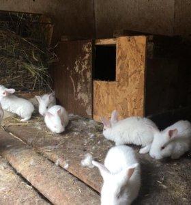 Крольчата-великаны
