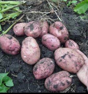 Картофель посадочный