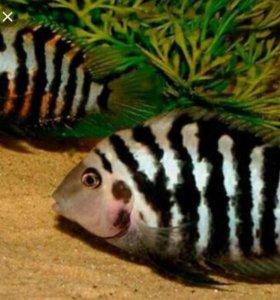 Рыбы Чернополосые циклиды