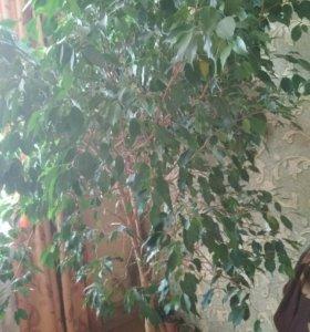 Комнатное дерево Бальзамин