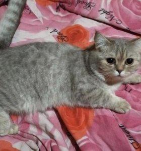 Котёнок шотландец 6 мес в добрые руки
