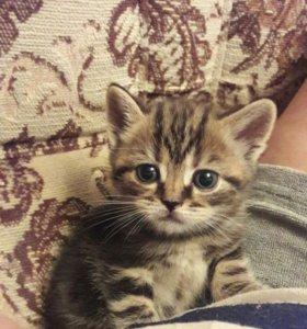 Шотланские чистокровные котята