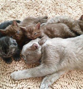 Котятки шотландской породы