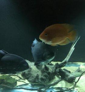Продам рыб цихлид