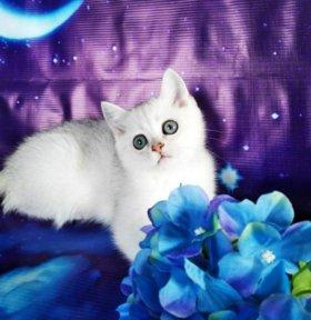 Британские котята с родословной!