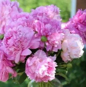 Пионы - розовые,белые, ранние бордовые