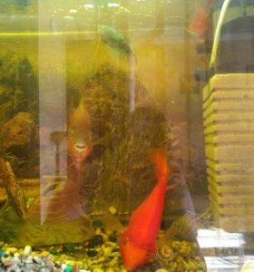 Рыбки акары