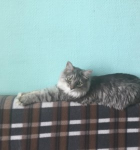 Котёнок Кэти (сибирская)