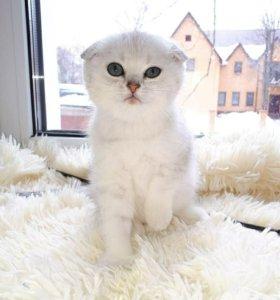 Шотландские плюшевые вислоухие котята