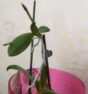 Детка мини орхидеи