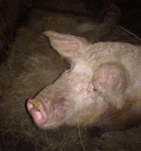 Свиноматка крупная белая +мангалица