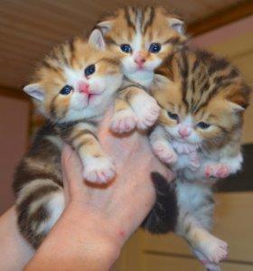 Золотые мраморные котята