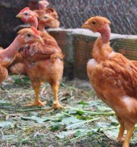 Цыплята Голошейные