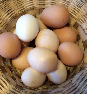 Яйцо на инкубацию