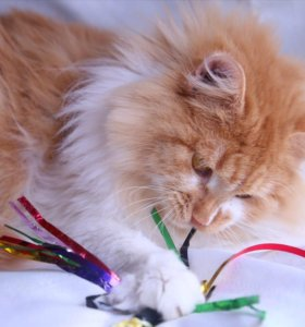 Тимка шикарный рыжий кот в дар