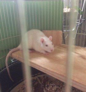 Крыса кормовая