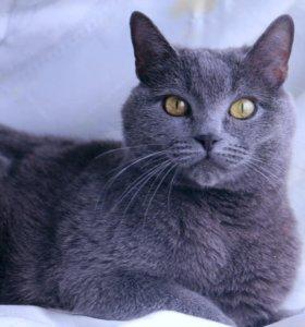 Британская кошка 2 года