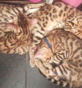 Бенгальский котенок с Документами
