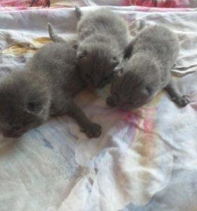 Продаются вислоухии котята!!!