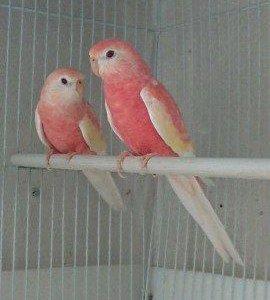 травянистый попугай боурка