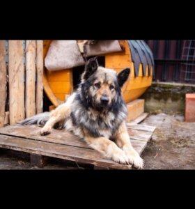 Пёс Гром для частного дома в дар