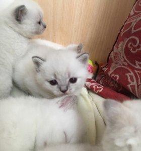 Шотландские котята Блю поинт