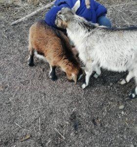 Коза с 4 козлятами