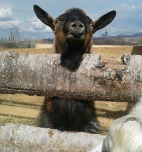 Козел..коза..