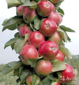Яблоня колоновидная Валюта, зимний сорт