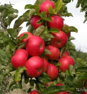 Яблоня колоновидная Баргузин, осенний сорт