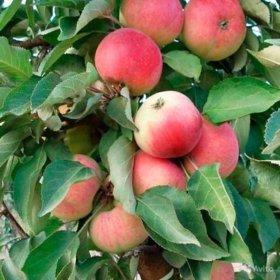 Яблоня колоновидная Кумир, зимний сорт