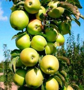 Яблоня колоновидная Икша, летний сорт