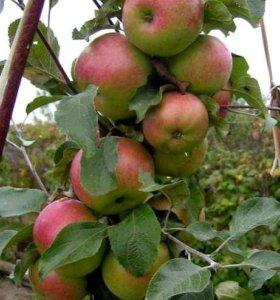 Яблоня колоновидная Малюха, осенний сорт