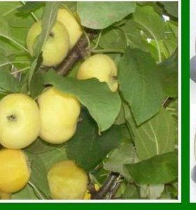 Яблоня карликовая Кроха, летний сорт