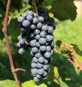 Саженцы однолетние винограда Альфа