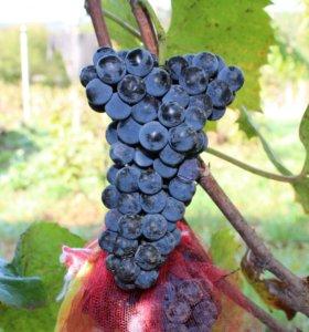 Саженцы однолетние винограда Мускат Донской