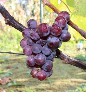 Саженцы однолетние винограда Экстра