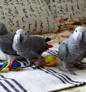 Очаровательные птенцы- выкормыши попугая жако.