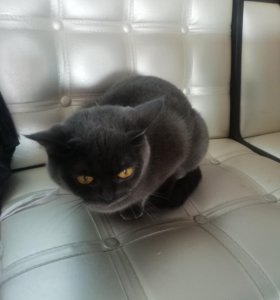 Отдам британскую кошку, ни разу не рожала.
